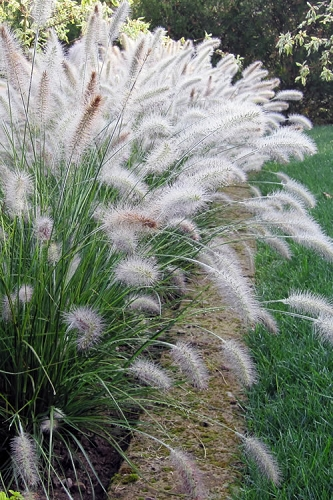 Hameln Fountain Grass - Pennisetum