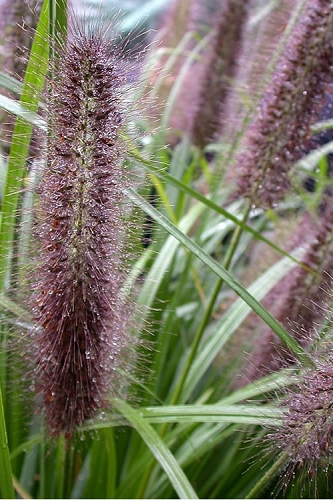 Black Fountain Grass - Pennisetum alopecuroides 'Moudry' - 1 Gallon Pot
