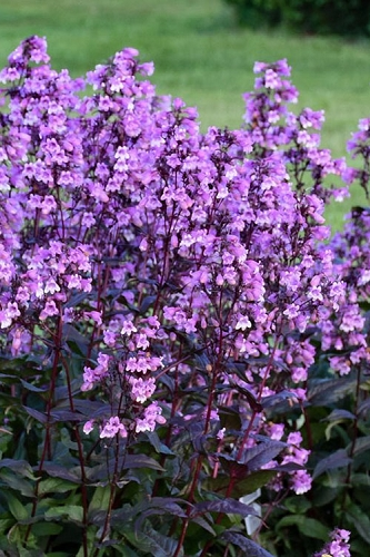 Midnight Masquerade Penstemon (Beardtongue) - 1 Gallon Pot