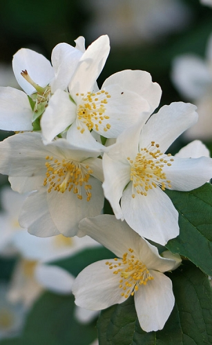 Sweet Mock Orange (Philadelphus coronarius) - 3 Gallon Pot