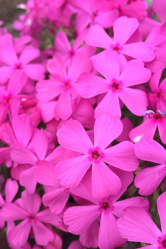 Drummond's Pink Creeping Phlox - 6-Pack of 2.5 Quart Pots