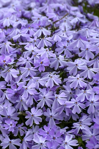 Emerald Cushion Blue Creeping Phlox - 1 Gallon Pot