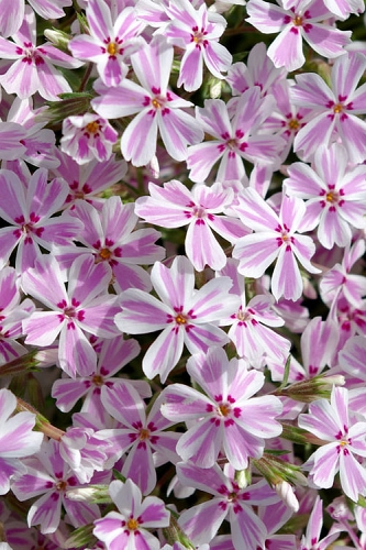 Candy Stripe Creeping Phlox - 1 Gallon Pot