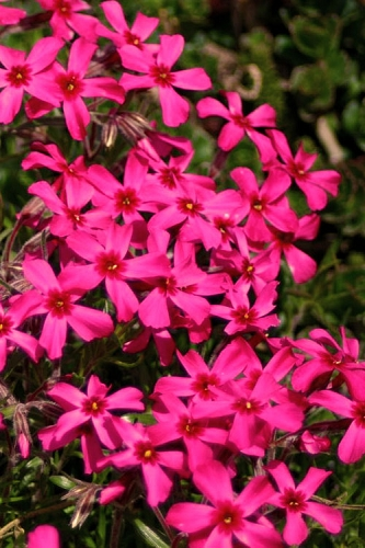 Scarlet Flame Creeping Phlox - 1 Gallon Pots