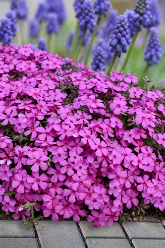 Ruby Riot Spring Bling Creeping Phlox - 1 Gallon
