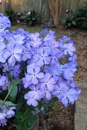 Blue Moon Woodland Phlox - 2.5 Quart Pot