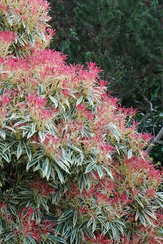 Flaming Silver Pieris japonica - 1 Gallon Pot