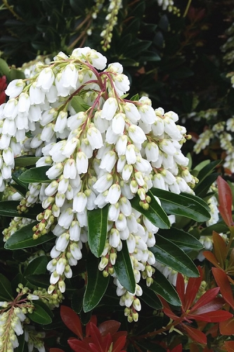 Temple Bells Pieris - 3 Gallon Pot