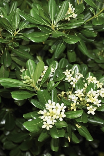 Green Pittosporum (Japanese Mock Orange) - 3 Gallon Pot