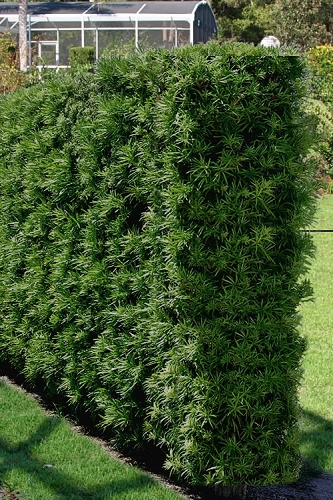 Podocarpus Macrophyllus Upright Yew - 3 Gallon Pot