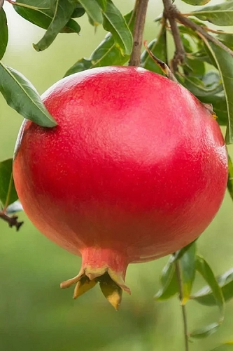 Salavatski Cold Hardy Pomegranate - 1 Gallon Pot