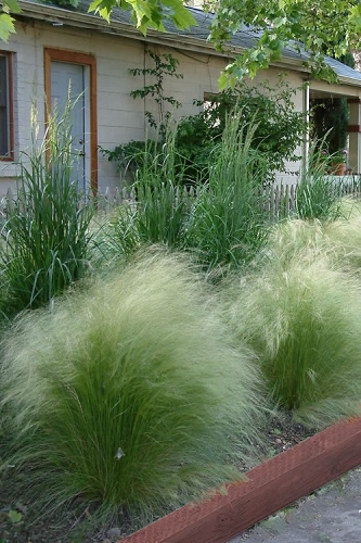 Pony Tails Mexican Feather Grass (Stipa tennuissima) - 3 Pack of Quart Pots