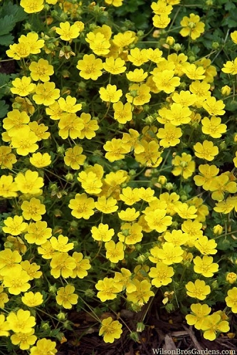 Creeping Alpine Cinquefoil (Potentilla neumanniana 'Nana' ) - 5 Pack of Quart Pots