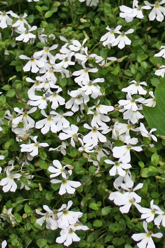 White Star Creeper (Pratia angulata) - 5 Pack of Quart Pots