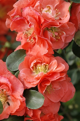 Double Take Peach Storm Flowering Quince