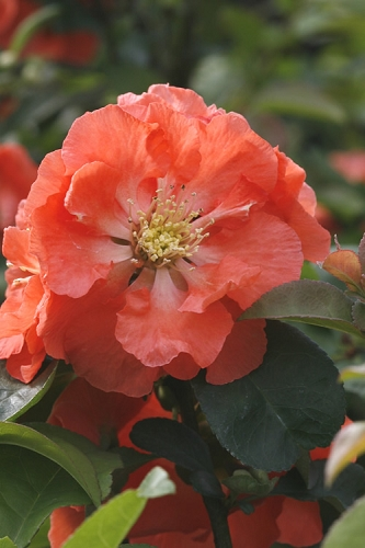 Double Take Peach Storm Flowering Quince - 3 Gallon Pot