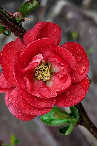 Double Take Scarlet Storm Flowering Quince - 2 Gallon Pot