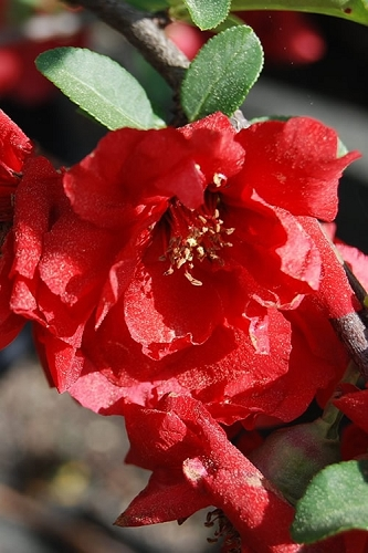 Iwai Nishiki Red Flowering Quince - 3 Gallon Pot