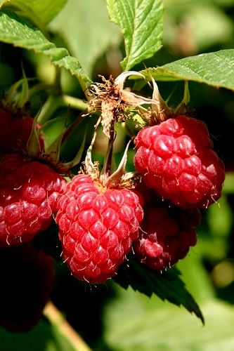 Heritage Raspberry - 1 Gallon Pot