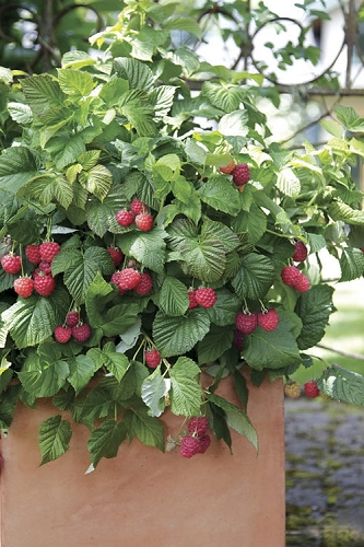 Bushel and Berry Raspberry 'Shortcake'