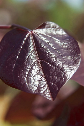 Merlot Purple Leaf Eastern Redbud Tree - 2 Gallon Pot