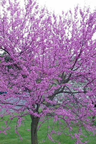 Eastern Redbud - 2 Gallon Pot