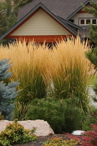 Karl Foerster Feather Reed Grass - Calamagrostis x acutiflora - 6 Pack of 1 Gallon Size Plants