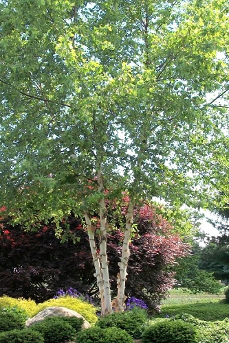 River Birch Tree - Multi Trunk