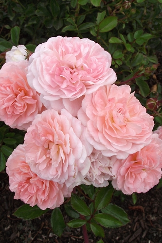 Apricot Drift Dwarf Rose