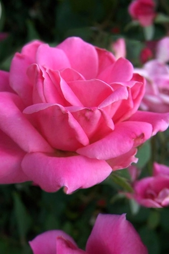 Pink Double Knock Out Rose - 1 Gallon Pot