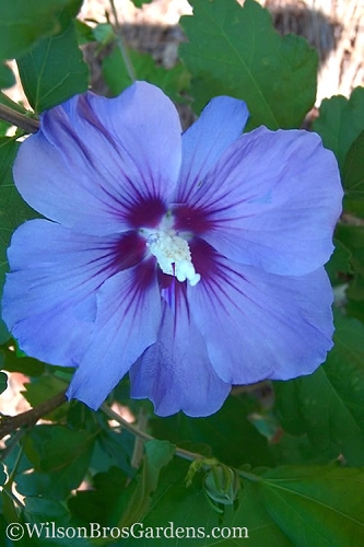 Blue Satin Rose of Sharon - Hibiscus - Althea - 1 Gallon