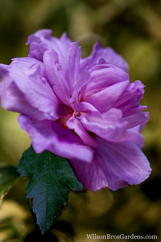 Purple Rose of Sharon - 3 Gallon Pot