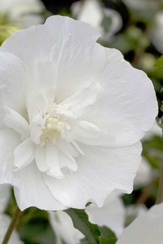 White Pillar Rose of Sharon - 2 Gallon Pot