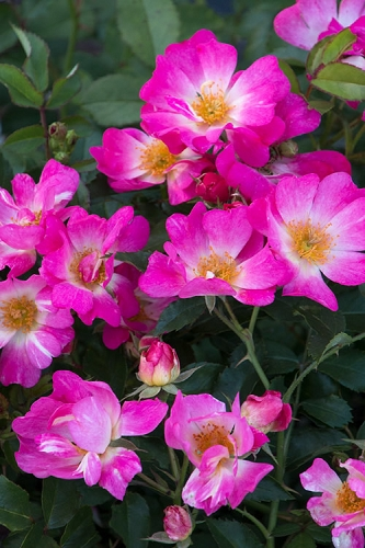 Pink Drift Groundcover Rose
