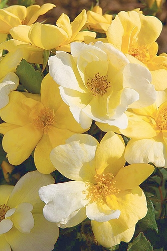 Sunny Yellow Knock Out Rose
