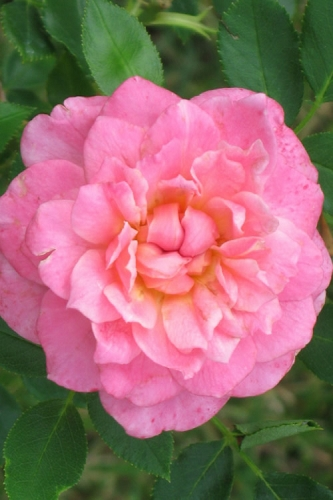 Sunrosa Fragrant Pink Dwarf Shrub Rose