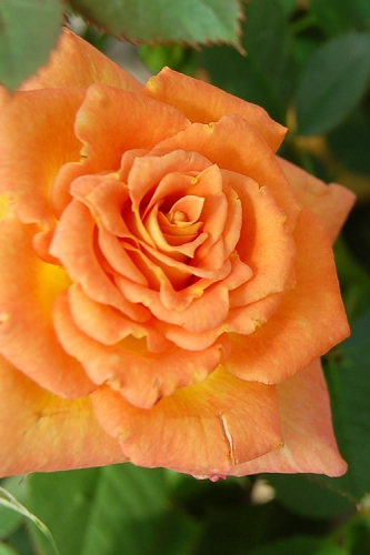 Sunrosa Orange Delight Dwarf Shrub Rose
