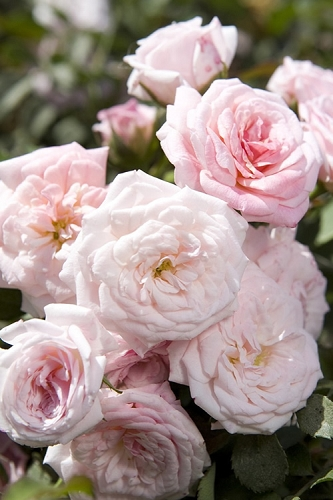 Sweet Drift Groundcover Rose - 2 Gallon Pot