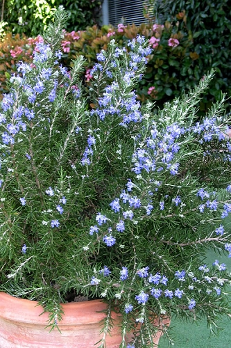 Chef's Choice Rosemary - 2.5 Quart Pot