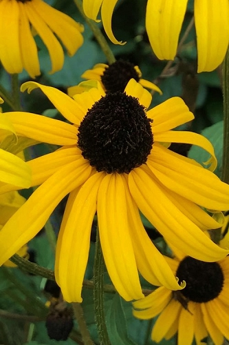 Goldsturm Black Eyed Susan Daisy (Rudbeckia fulgida) -  1 Gallon Pot