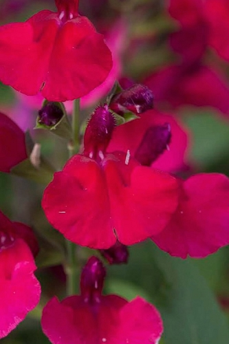 Mirage Cherry Red Sage - Salvia greggi - 5