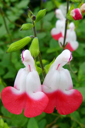 Hot Lips Salvia - Sage