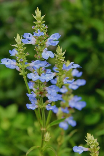 Bog Sage - Salvia Uliginosa - 3 Pack of Quart Pots