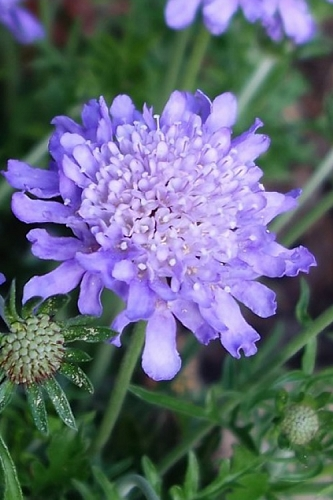 Butterfly Blue Scabiosa - Pincushion Flower - 2.5 Quart Pot