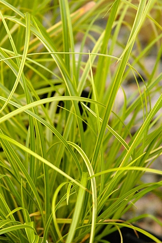 Gold Fountains Sedge - Carex dolichostachya - 6 Pack of 1 Gallon Pots