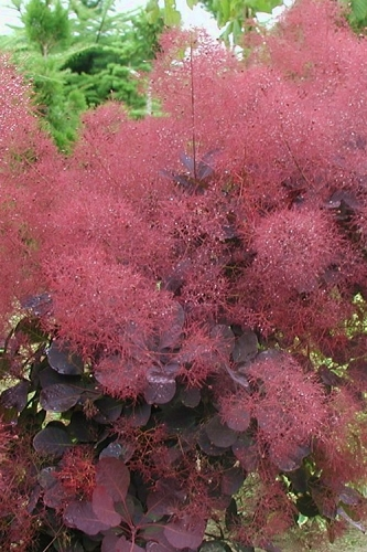Royal Purple Smoke Tree - Cotinus coggygria - 1 Gallon