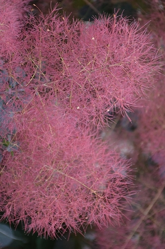 Grace Pink Flowering Smoke Tree - 3 Gallon Pot