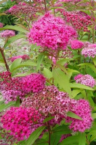 Anthony Waterer Spirea - 3 Gallon Pot