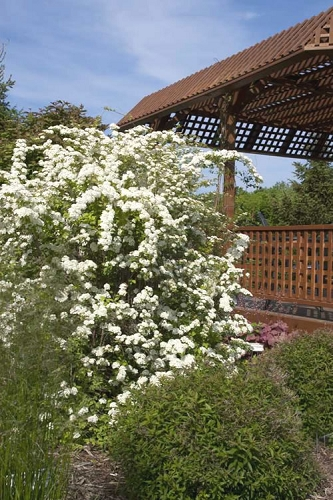 Firegold® Spirea - Golden Bridal Wreath Spirea