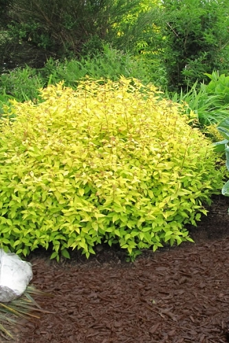 Gold Mound Spirea - 1 Gallon Pot